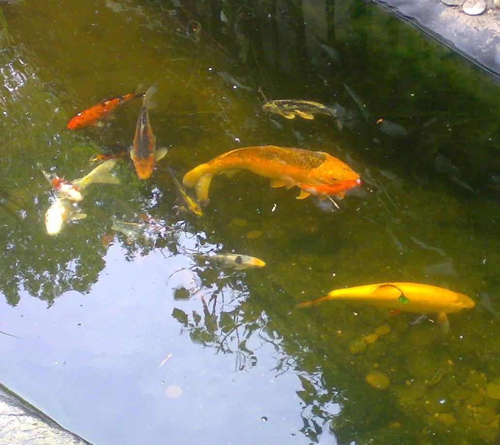 Forums vijver aanleg ontwerp show je tuin mijn for Vissen vijver