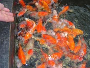 Content 3 4 1 op bezoek bij koi dealers aqualandia koi for Koi 9 en israel